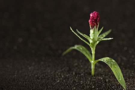 A young green plant with water on it growing out of brown soil. Stock Photo - 7528027