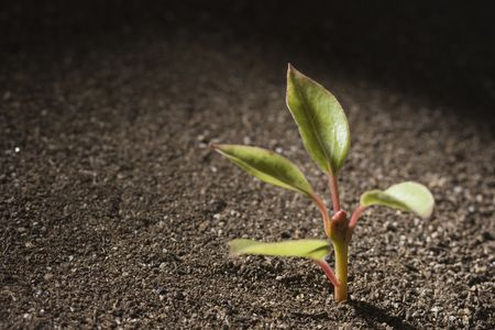 A young green seedling growing out of brown soil.