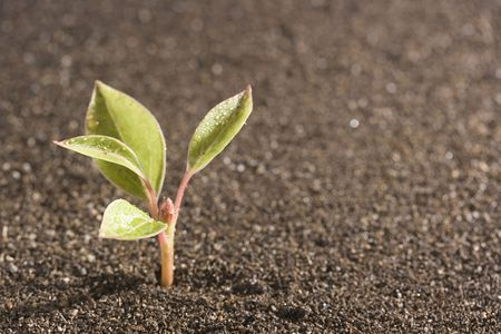 A young green plant with water on it growing out of brown soil. Stock Photo - 7555311