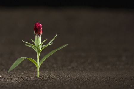A young red flower growing out of brown soil. Stock Photo - 7605460
