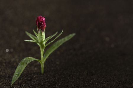 A young red flower with water on it growing out of brown soil. Stock Photo - 7671160