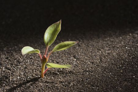 A young green plant growing out of brown soil. Stock Photo - 7750262
