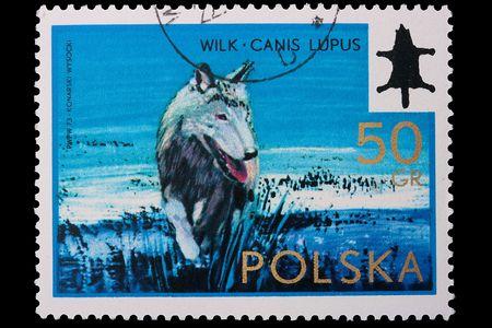 Polonia - CIRCA 1973: Un francobollo è stampato in Polonia, il lupo, far uscire CIRCA nel 1973. Archivio Fotografico - 7933324