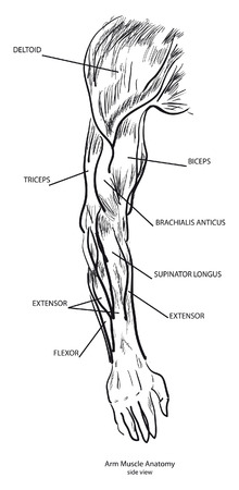 Arm Muscle Anatomy, side view. Black and White