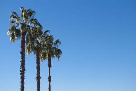 three palm trees: Three palm trees against the blue cloudless sky. Stock Photo