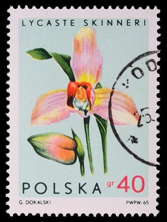 Polonia - anno 1965: Un francobollo è stampato in Polonia, Lycaste Skinneri, CIRCA nel 1965. Archivio Fotografico - 9129481
