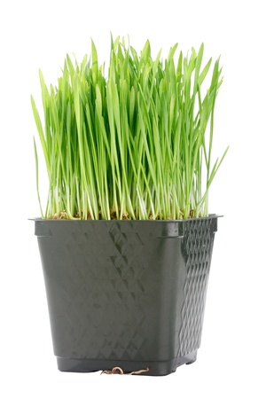 wheat isolated: Green organic wheat grass against a white background. Stock Photo