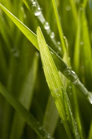 Close-up of water drops on green grass blades. photo