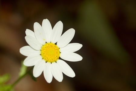 Close-up photograph of a perfect white daisy. photo