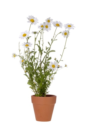 White daisies in a brown pot isolated on a white background. photo