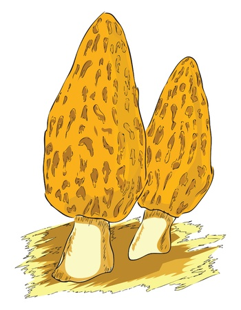 food poison: Morel belongs to the group of poisonous mushrooms.  Illustration