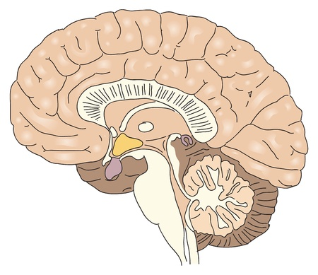 brain illustration: Cross-section of the human brain.