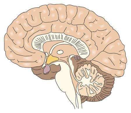 cerebro humano: Secci�n transversal del cerebro humano.
