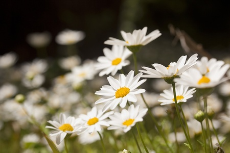 Close-up photograph of white daisies at a daisy field. photo