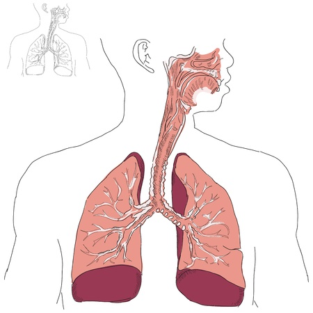 lung bronchus: Respiratory system and Actinomycosis in humans. Vector illustration.