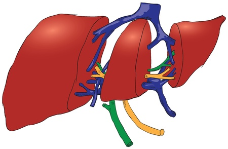 penetrating: Cross-section of human liver with its penetrating kroenosnoy system. Vector illustration. Illustration