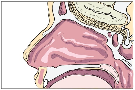 The anatomical structure of the human nose. Vector illustration. Vector