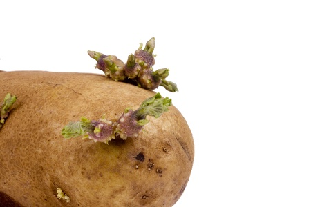 Sprouted brown potato isolated on a white background. 스톡 콘텐츠