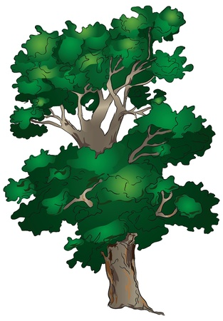 branching: An old tree with a branching crown. Illustration