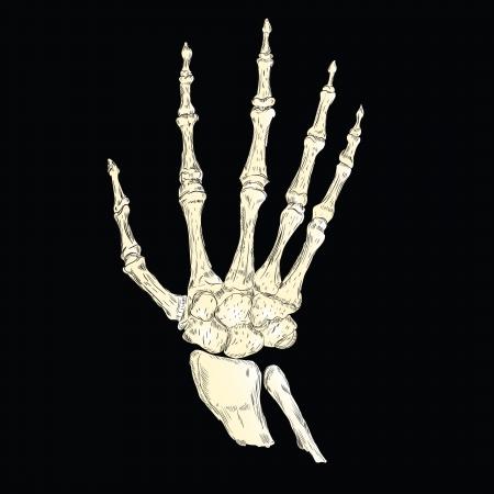 Het skelet van een menselijke hand. Anatomie.