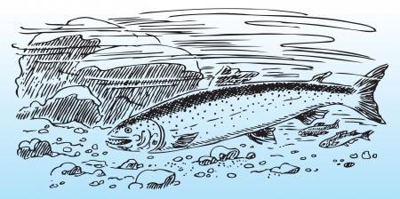 Salmon in the wild, river bottom.  Ilustracja