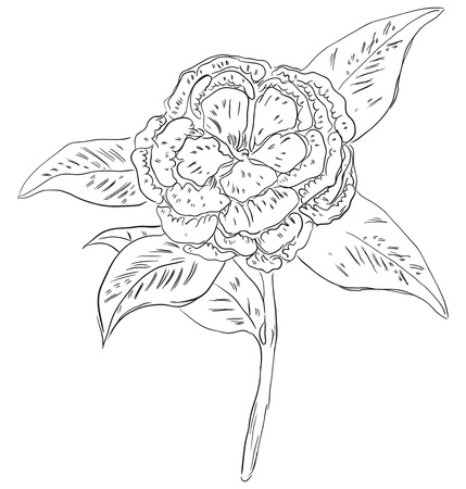Camellia - one of the symbols of the State of Alabama, USA. Vector illustration.