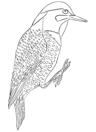 flicker: Colaptes auratus - one of the symbols of the State of Alabama, USA. Vector illustration.