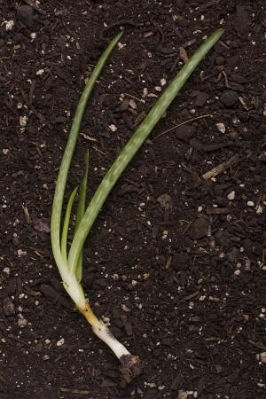 overlightened: Soil for planting younger escape Aloe. Crop production. Stock Photo