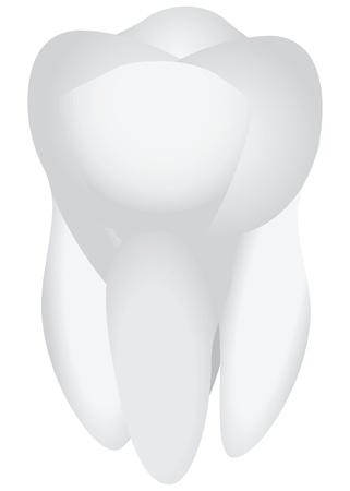 健康なヒトの歯。歯科治療の件名です。ベクトル イラスト。 写真素材 - 20746847