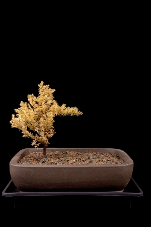Small tree in traditional Japanese style bonsai. photo