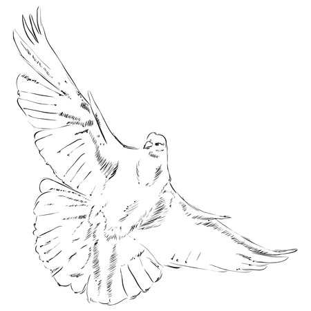 marrying: Flying dove drawing is made by hand. Vector illustration. Illustration