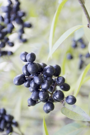 Black elderberry naturally on the bush. Flora.
