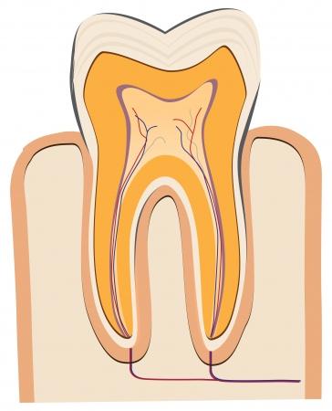 ヒトの歯 - 歯をカット。ベクトルの図。