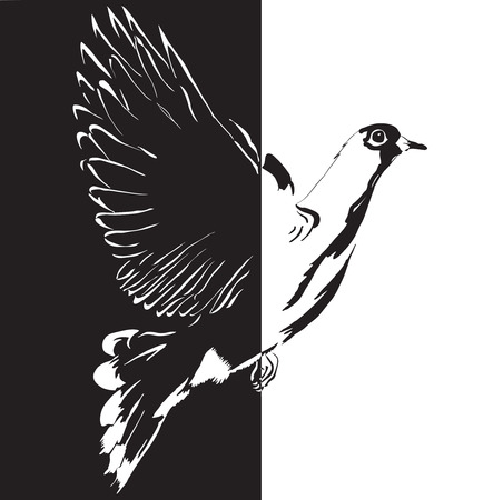 paloma volando: Vuelo de la paloma del blanco al negro ilustraci�n. Vectores
