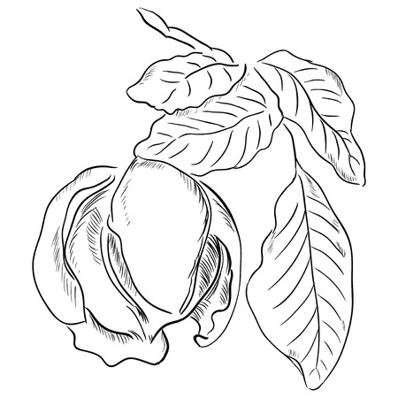 Figure walnut leaves illustration is made by hand.