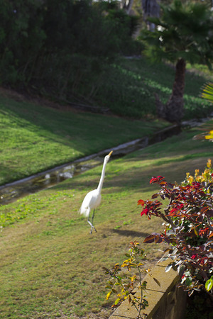 environmental issues: Egret on a grass lawn. Environmental Issues.