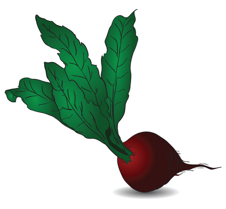 Raw red beets with green tops.  Illustration