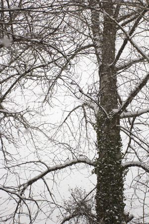 snowscene: Fluffy snow on the branches of a tree. Winter weather.