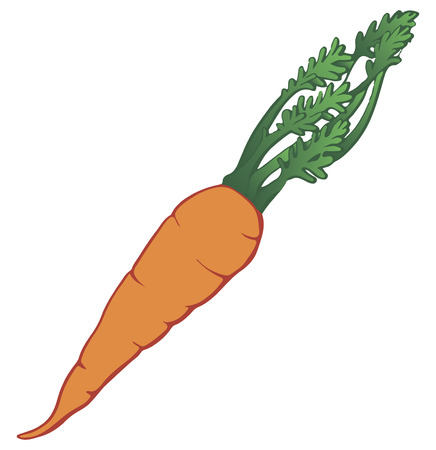 Raw carrots with green tops of vegetable. Vector illustration. Ilustracja