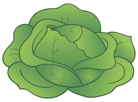 White cabbage as a symbol of organic food. Vector illustration.