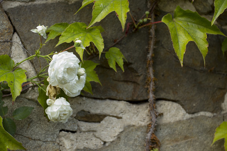 Ancient castle wall with a white rose.