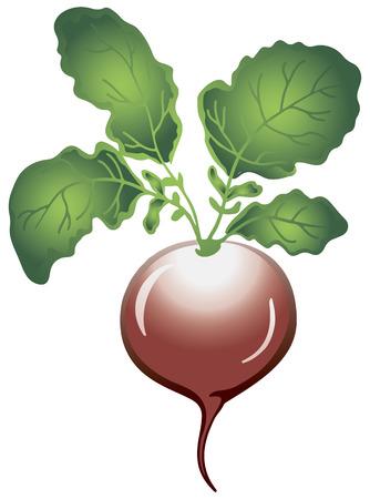 Frische Rettiche, essbare Knolle, wie Lebensmittel roh verwendet. Vektor-Illustration. Standard-Bild - 36790185