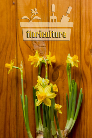 floriculture: Floriculture. Poster with a young flower daffodils.