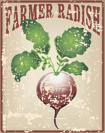 old farmer: Old vintage card with tuber radish - Farmer radishes. Vector illustration. Illustration