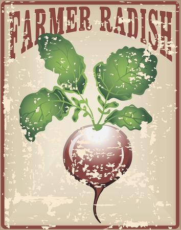 Old vintage card with tuber radish - Farmer radishes. Vector illustration. Çizim