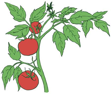 Bush tomatoes with three mature fruits. Vector illustration. Иллюстрация