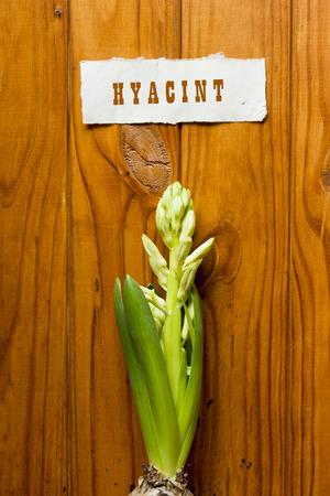 fundamentals: Young shoots white Hyacinth. Fundamentals of floristry. Stock Photo