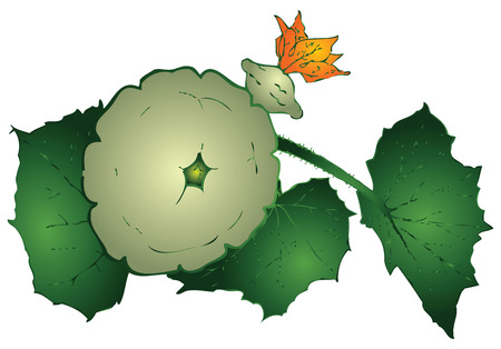 courgette: Agricultural vegetable - Round zucchini on a branch. Vector illustration.