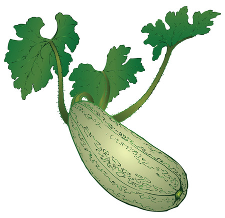 Agricultural vegetable - zucchini on a branch. Vector illustration.