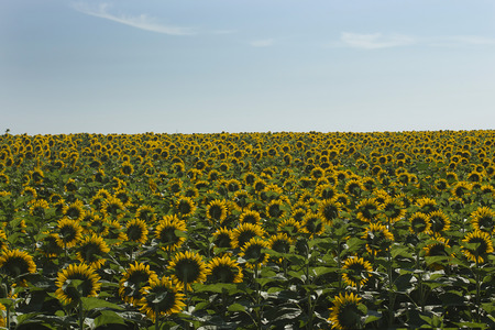 The inflorescence of sunflower crop is used for the production of vegetable oil.